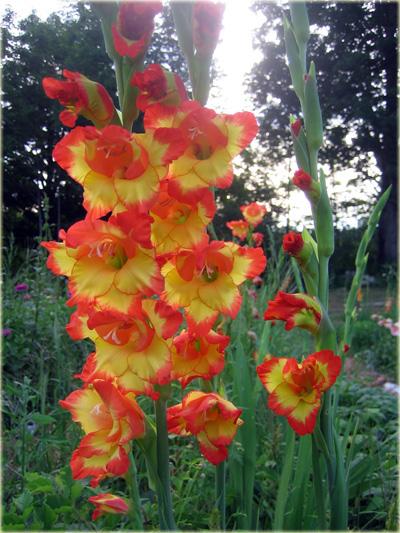 mieczyk_wielkokwiatowy_dandy_gladiolus_hybridus_01